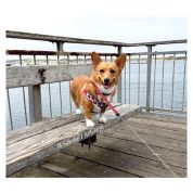 Image result for sandiethecorgi